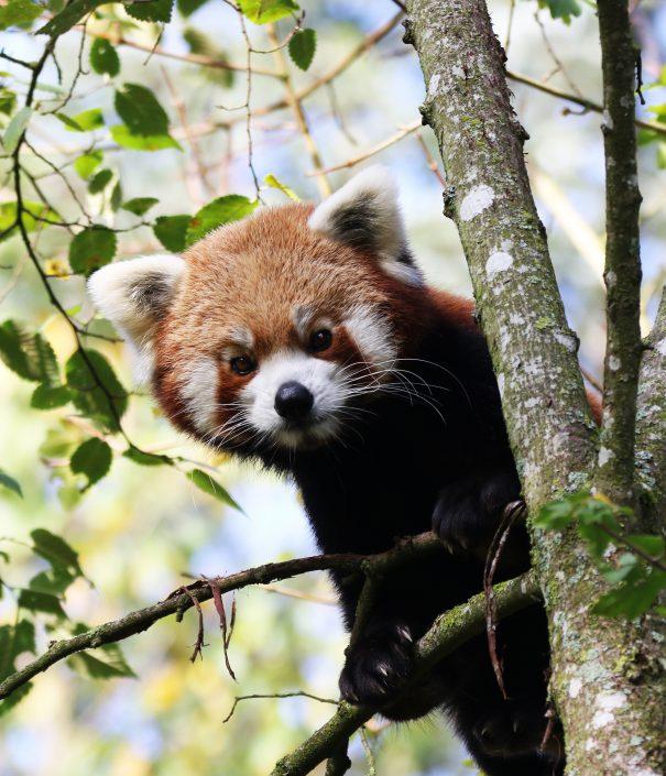 Panda-NZM-2017